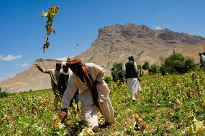 800px-Afghans_are_destroying_a_poppy_field